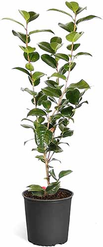 A close up vertical image of a small 'Kramer's Supreme' camellia growing in a black plastic pot isolated on a white background.