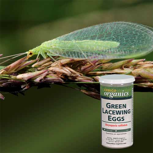 A close up square image of a lacewing adult on a branch and to the bottom of the frame is a small bottle of green lacewing eggs superimposed on the picture.