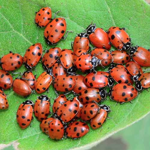 A close up square image of ladybugs collected in a group on a green leaf.