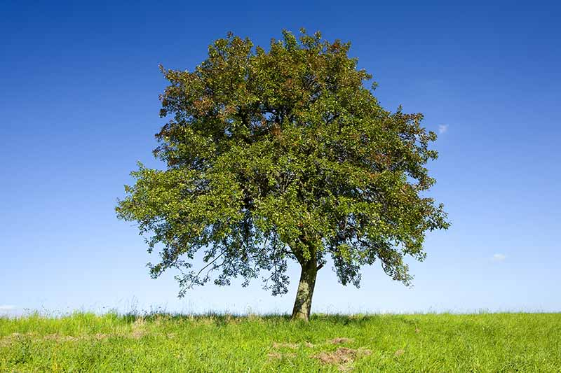 A horizontal image of a large lone apple tree growing in a grassy area pictured on a blue sky background.