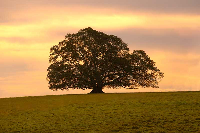 A horizontal image of a large lone fig tree in a grassy landscape pictured in evening light.
