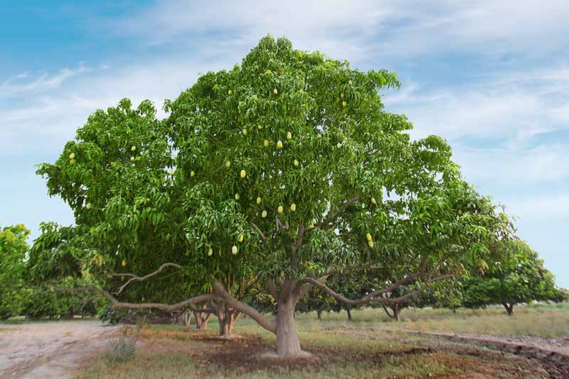 A horizontal image of large mango trees growing in the landscape pictured on a blue sky background.