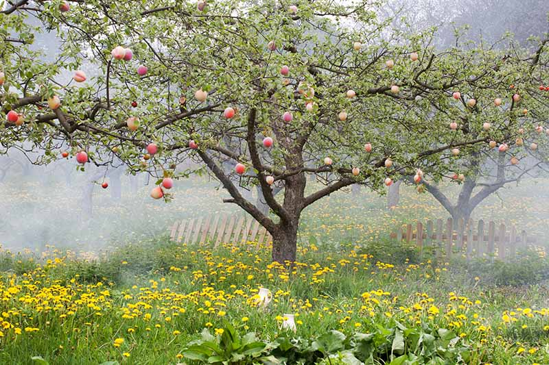 A horizontal image of a peach tree growing in a grassy orchard surrounded by yellow flowers.