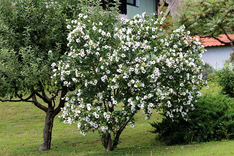 A close up horizontal image of a rose of Sharon shrub with white and red flowers growing in the garden.