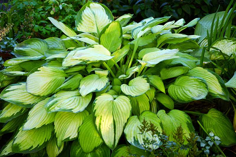 A close up horizontal image of the green and cream foliage of hostas growing in the garden.