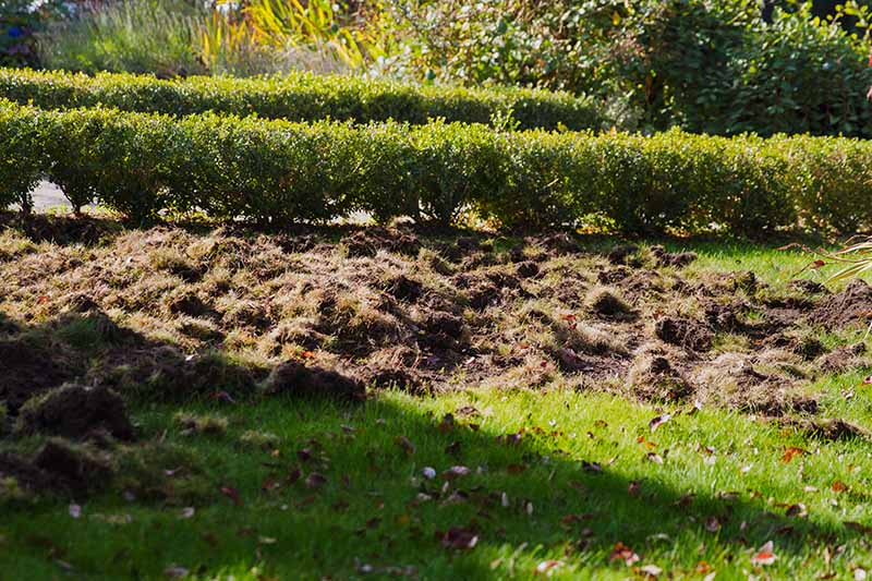 A horizontal image of lawn damage done by critters searching for grubs.