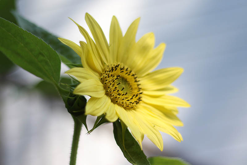 A close up horizontal image of a Helianthus annuus 'Lemon Queen' flower pictured on a soft focus background.
