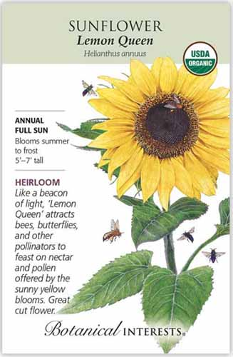 A close up vertical image of a seed packet for Helianthus annuus 'Lemon Queen,' with text to the left of the frame and a hand drawn illustration to the right.