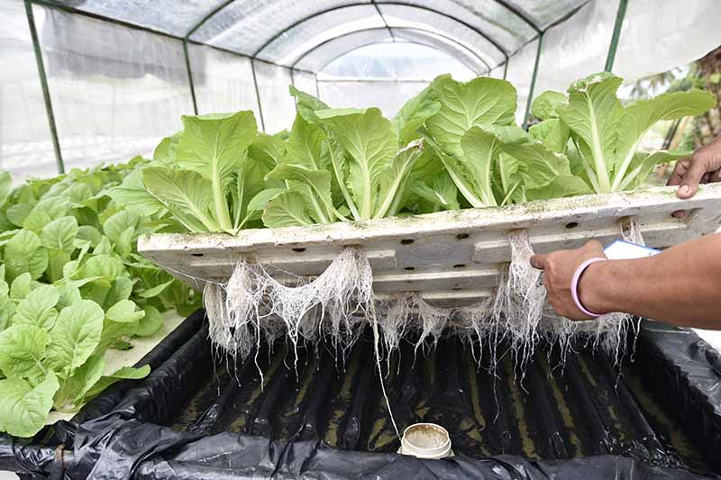 A close up horizontal image of a hand from the right of the frame lifting up a tray of hydroponically grown lettuces in a large greenhouse.