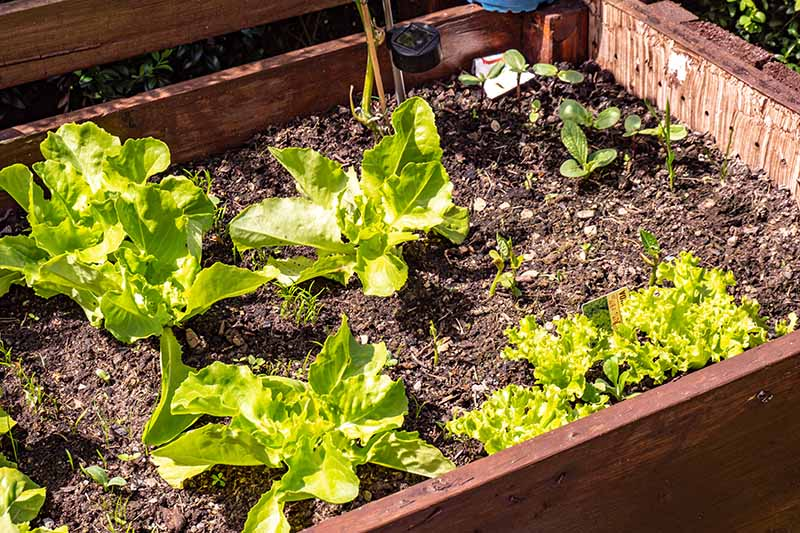 A close up horizontal image of lettuce growing in a wooden cold frame pictured in bright sunshine.