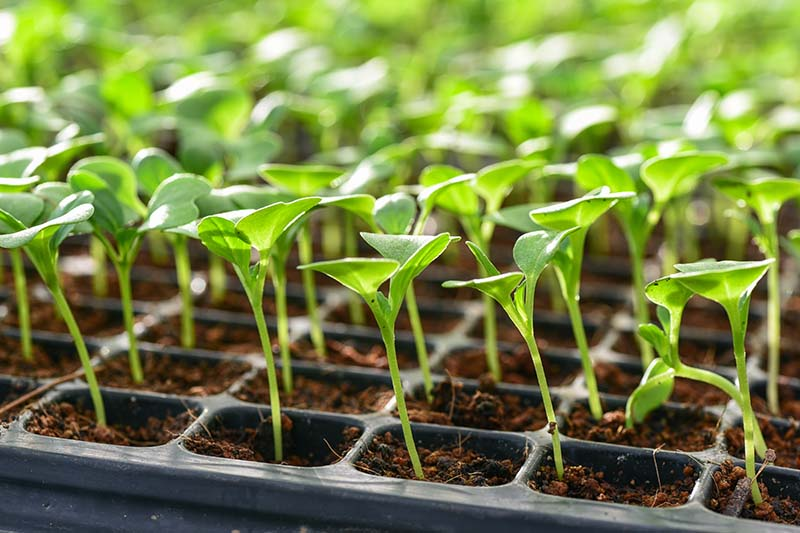 A close up horizontal image of tiny seedlings in small seed starting cells fading to soft focus in the background.
