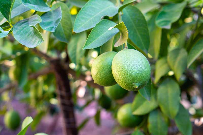 A close up horizontal image of limes growing on the tree pictured on a soft focus background.