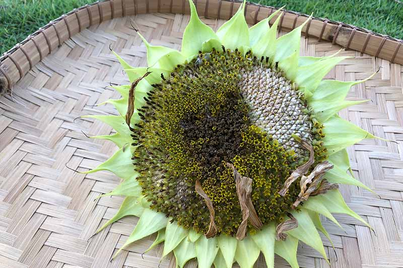 A close up horizontal image of a 'Mammoth Grey' sunflower head set in a wicker basket for seed harvest.