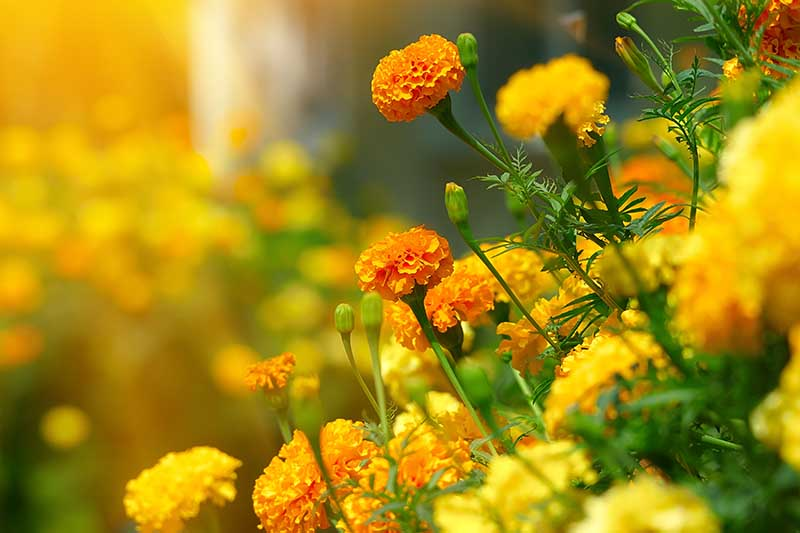A close up horizontal image of marigold flowers growing in the garden in light evening sunshine fading to soft focus in the background.
