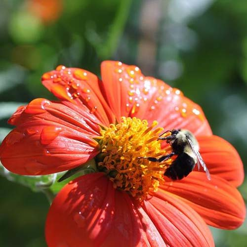 A close up square image of a red Mexican sunflower cultivar 'Torch' pictured with a bee in bright sunshine on a soft focus background.