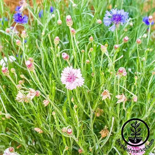 A close up square image of pink and blue bachelor's button flowers growing in a meadow. To the bottom right of the frame is a black circular logo with text.