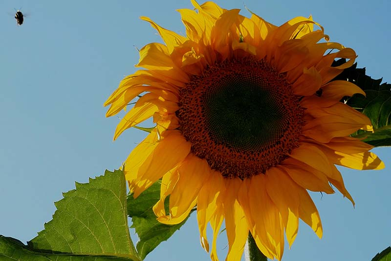 A close up horizontal image of a large Helianthus annuus 'Mongolian Giant' isolated on a blue sky background.