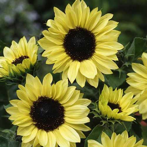 A close up square image of Helianthus annuus 'Moonshine' growing in the garden pictured on a soft focus background.