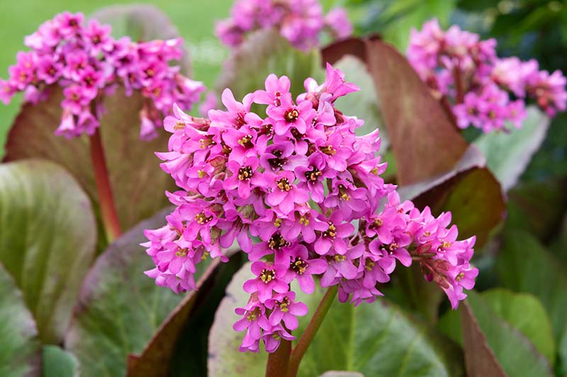 A close up horizontal image of Bergenia 'Morning Red' aka 'Morgenrote' growing in the garden pictured on a soft focus background.
