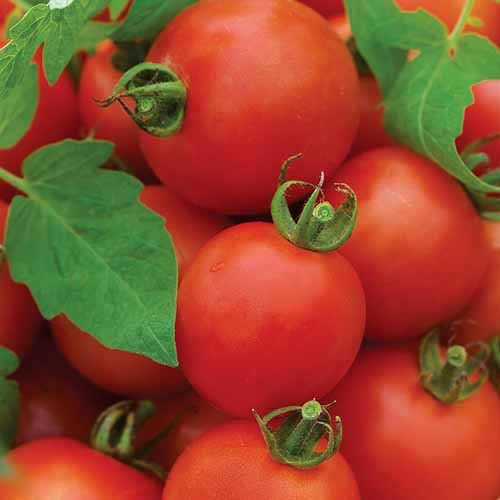 A close up square image of 'Magic Mountain' tomatoes freshly harvested.