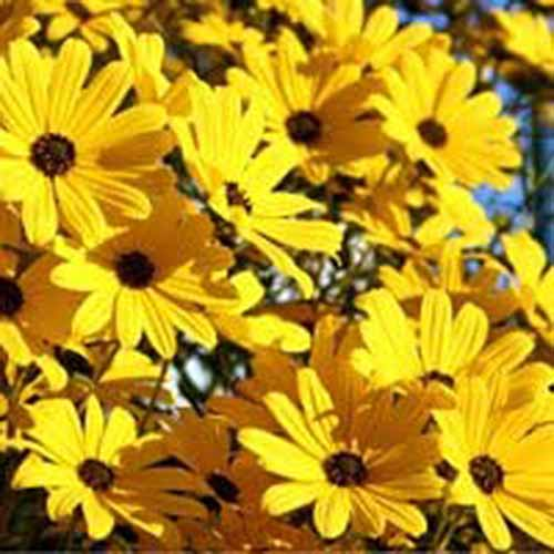 A close up square image of bright yellow swamp sunflowers pictured in bright sunshine.