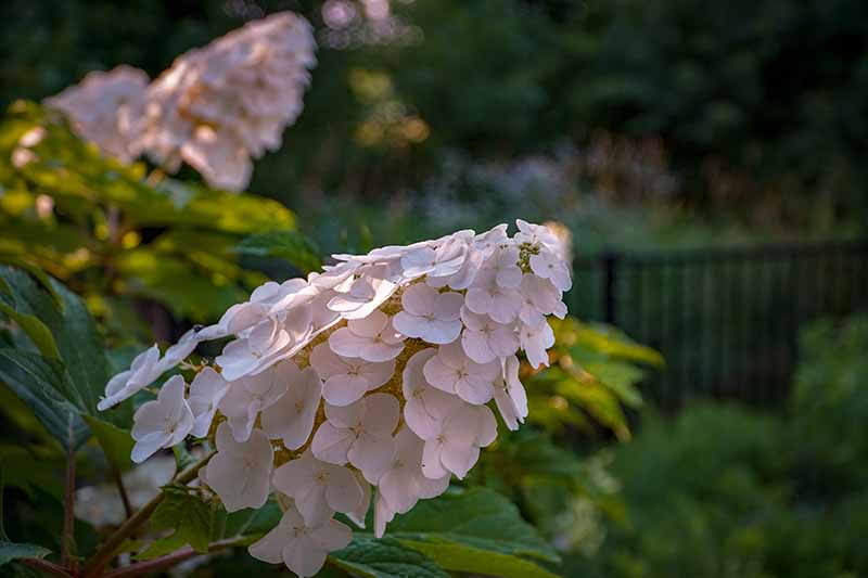 A close up horizontal image of Hydrangea quercifolia flowers growing in the garden pictured in evening sunshine on a soft focus background.