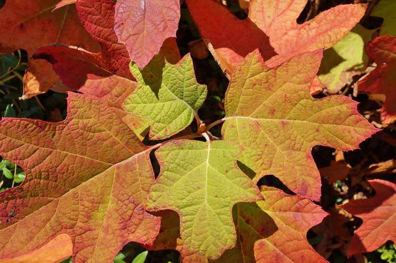 A close up horizontal image of Hydrangea quercifolia foliage turning orange and red in the fall, pictured in bright sunshine.