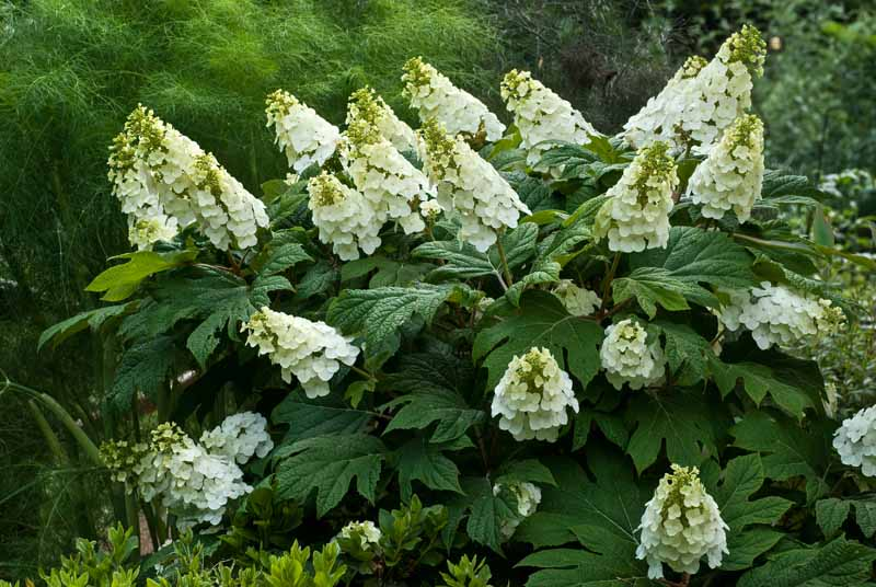 A close up horizontal image of a Hydrangea quercifolia shrub with white flowers growing in the garden.