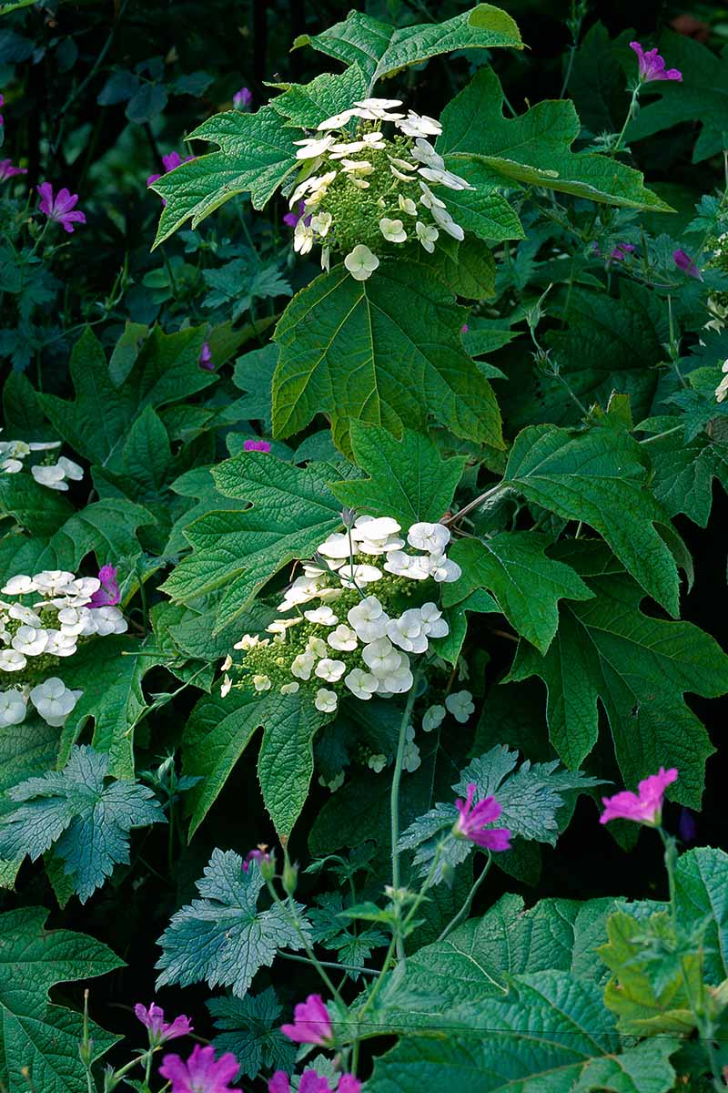 A close up vertical image of an oakleaf hydrangea shrub growing in the garden in a mixed border.