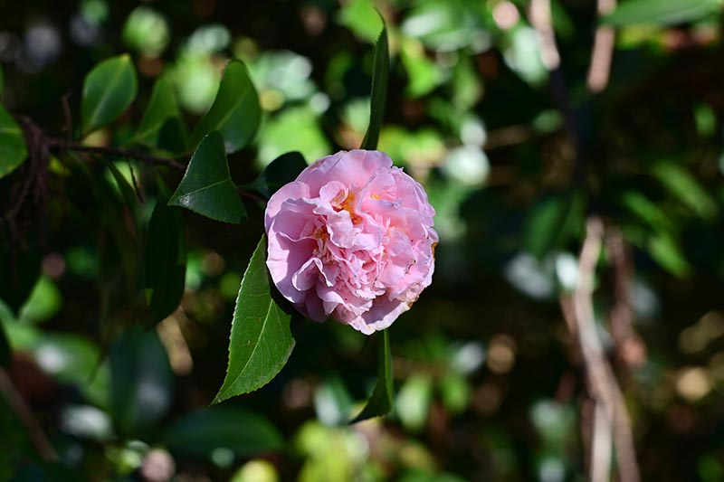 A close up horizontal image of camellia 'October Magic' growing in the garden.