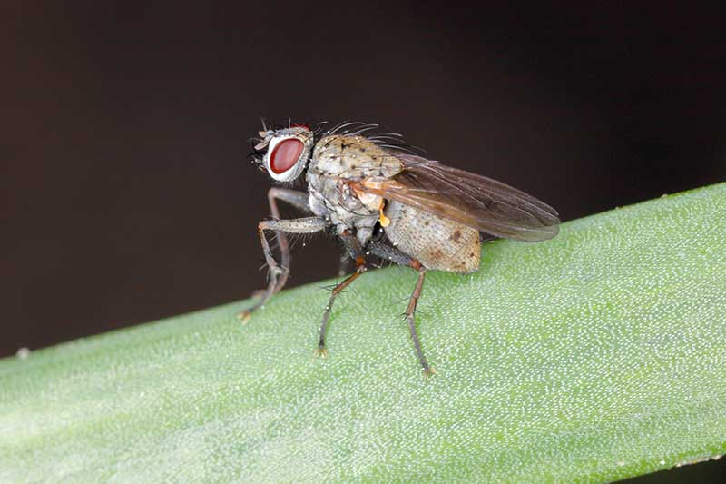 A close up horizontal image of an adult Delia antiqua, aka onion fly, on a branch of a plant pictured on a soft focus background.