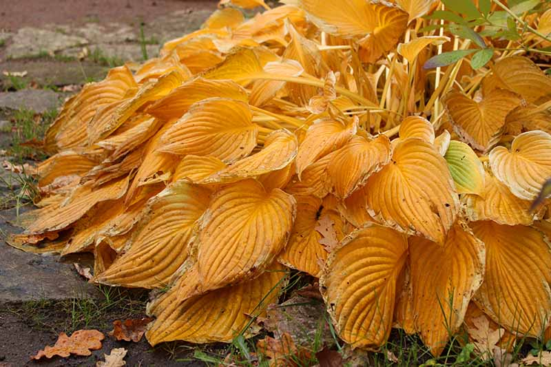 A close up horizontal image of the orange fall foliage of a hosta plant in the garden.