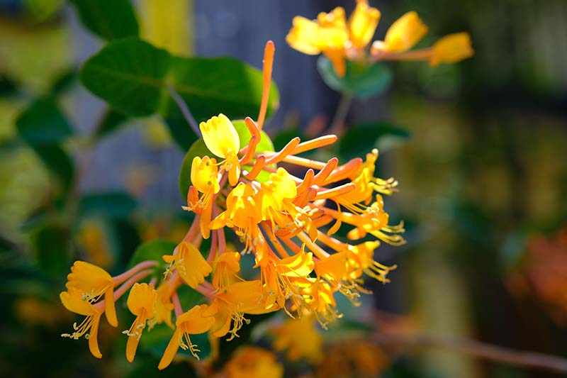 A close up horizontal image of bright orange Lonicera flava flowers growing in the garden pictured in light sunshine on a soft focus background.