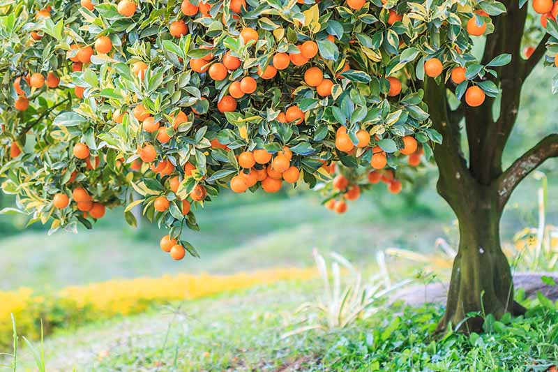 A close up horizontal image of an orange tree laden with fruit growing in the backyard.