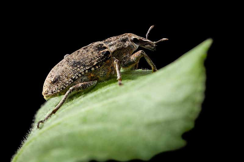 A close up horizontal image of an adult Otiorrhynchus sulcatus beetle on a leaf pictured on a dark background.