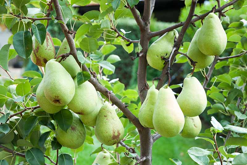 A close up horizontal image of ripe pears growing on the tree pictured on a soft focus background.