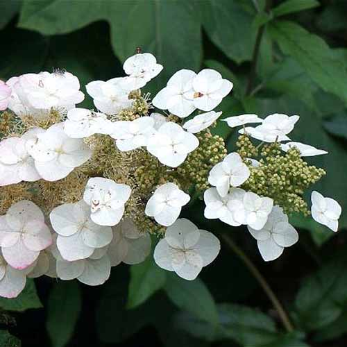 A close up square image of Hydrangea quercifolia 'Pee Wee Dwarf' with white petals pictured on a soft focus background.