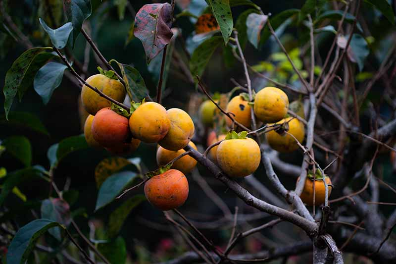 A close up horizontal image of persimmons growing in the garden.