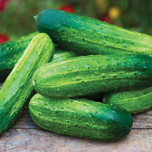 A close up square image of 'Pick a Bushel' cucumbers, freshly harvested and set on a wooden surface.