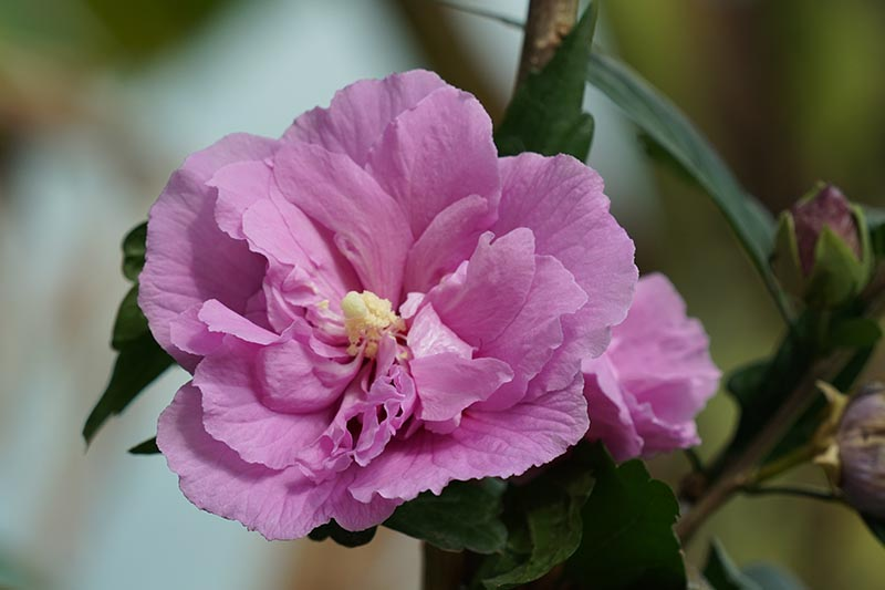 A close up horizontal image of a pink rose of Sharon (HIbiscus syriacus) flower pictured on a soft focus background.