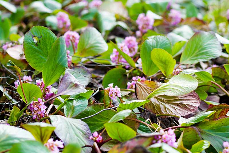 A close up horizontal image of 'Pink Dragonfly' bergenia plants growing in the garden with the foliage looking a bit worse for wear.