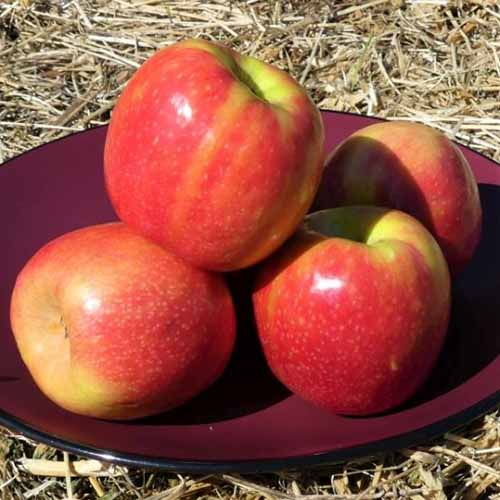 A close up square image of three 'Pink Lady' apples freshly harvested and set on a plate.