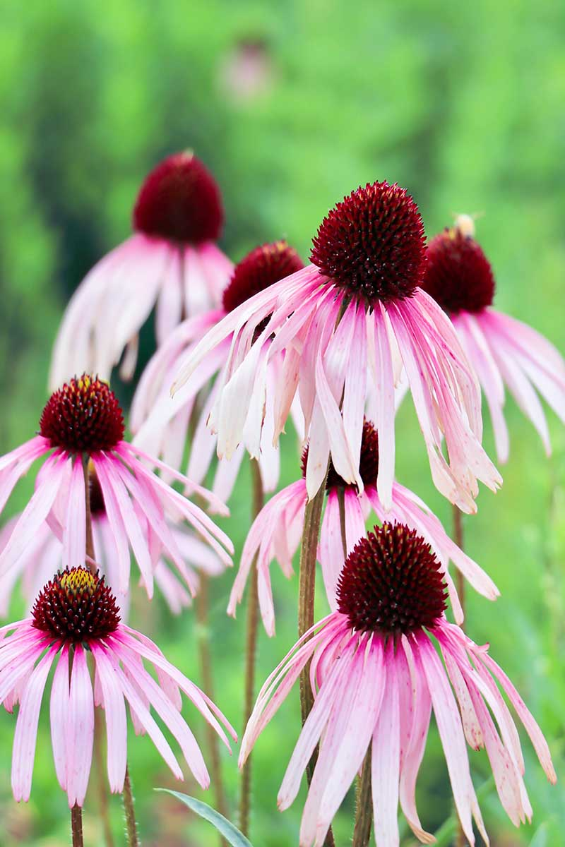 A close up vertical image of pink 'Pixie Meadowbrite' coneflowers growing in the garden pictured on a soft focus background.