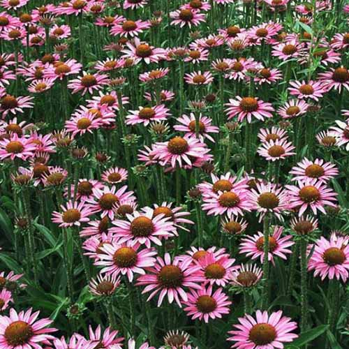 A close up square image of purple Echinacea 'Pixie Meadowbrite' growing in the garden.