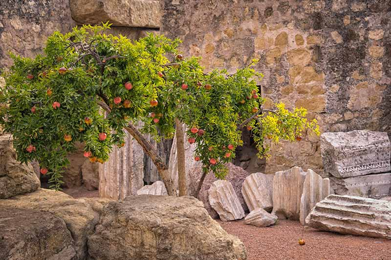 A horizontal image of a pomegranate tree growing in stone ruins.