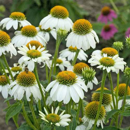 A close up square image of Echinacea 'Pow Wow White' growing in the garden.