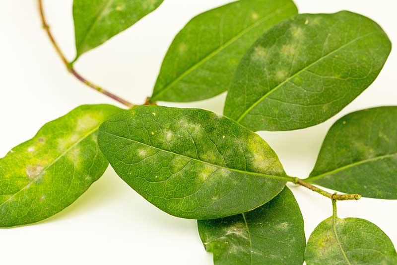 A close up horizontal image of honeysuckle foliage suffering from powdery mildew pictured on a white background.