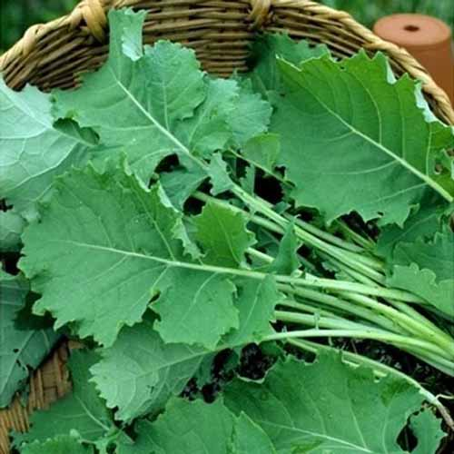 A close up square image of freshly harvested 'Premier' kale in a wicker basket.