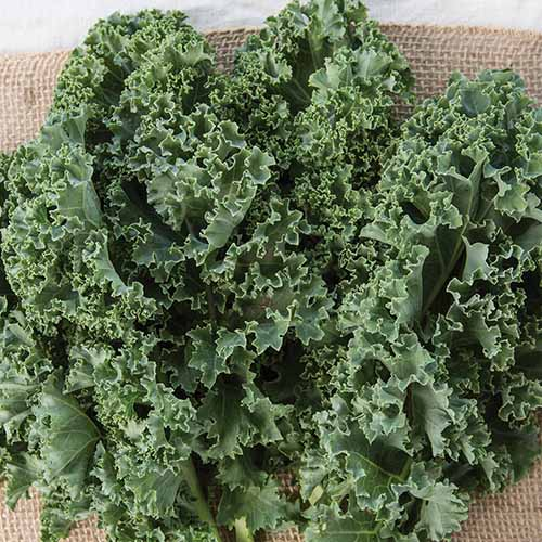 A close up square image of 'Prizm' curly kale freshly harvested on a jute fabric.