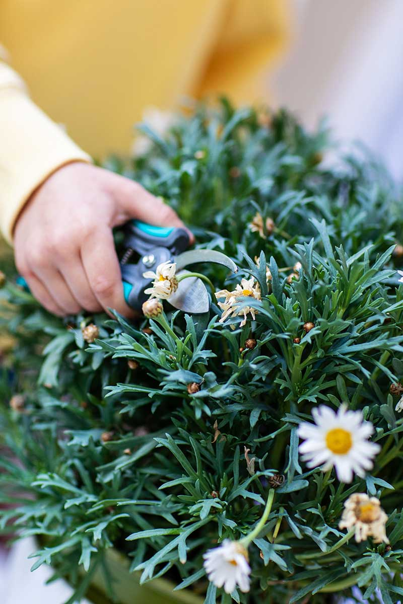 A close up vertical image of a hand from the left of the frame holding a pair of pruners pruning flowers and foliage from a container grown plant.
